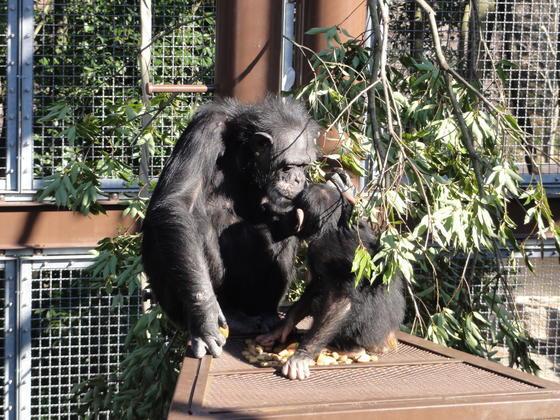 チンパンジーのマリーおばさん