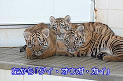 トラの仔3兄弟