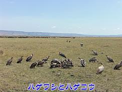 アフリカハゲコウのキョロ