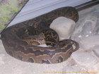 アフリカニシキヘビ