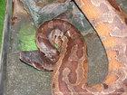 ヒイロニシキヘビ