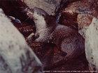 ニホンカワウソ(標本のみ)