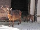ヤクシマヤギ
