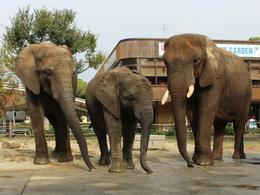 アフリカゾウのエサやり体験
