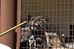 ジャガー給餌ガイド