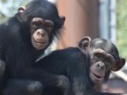 チンパンジーのお話