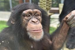 チンパンジーの日イベント