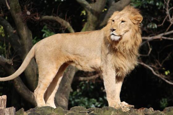 ライオン舎の近況報告
