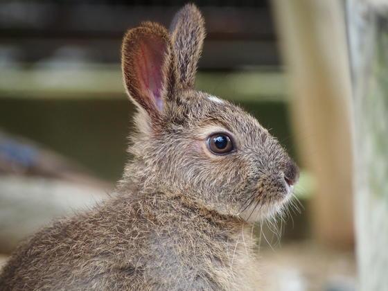 ウサギはウサギでも...