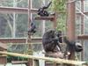 チンパンジーの子どもたち