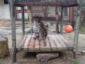 ジャガーの暮らしぶり