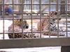 ジャガー繁殖の為の同居経過について