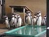 フンボルトペンギンたちの園内大移動の巻!?