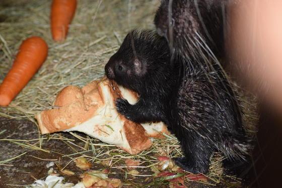 アフリカタテガミヤマアラシが繁殖しました!!