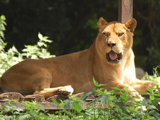 ライオンのモナ(♀)が死亡しました。