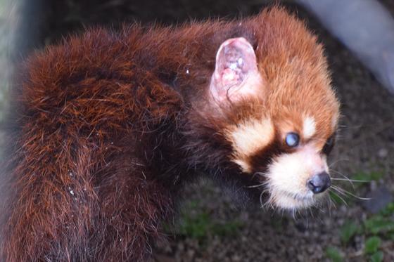 レッサーパンダの緑之介(リュウノスケ♂・19歳)が死亡しました。