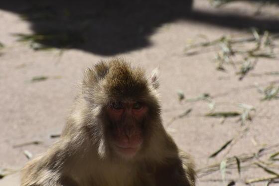 ニホンザルのコロナ(♀・4歳)が死亡しました。