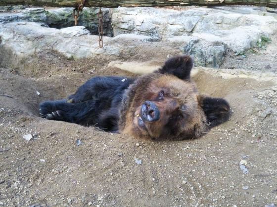 ヒグマのピリカ(♀・31歳)が死亡しました。
