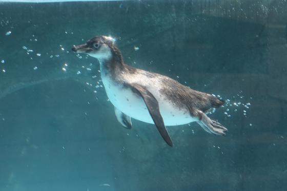 フンボルトペンギンが繁殖しました!!