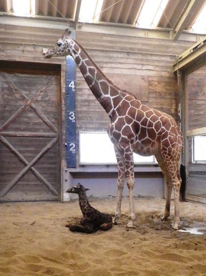 キリンの赤ちゃんが生まれました!