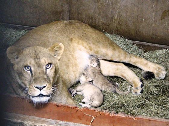 ライオンの赤ちゃんが生まれました!