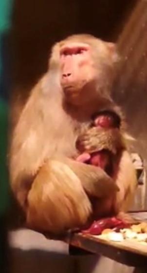 マントヒヒの赤ちゃんが生まれました!