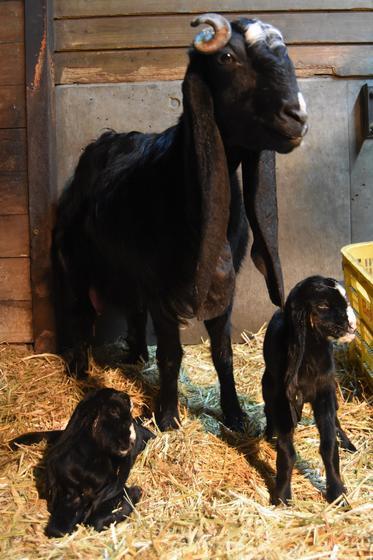 ミミナガヤギの赤ちゃんが生まれました!