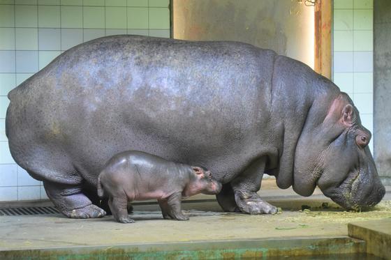 カバの赤ちゃんが生まれました!