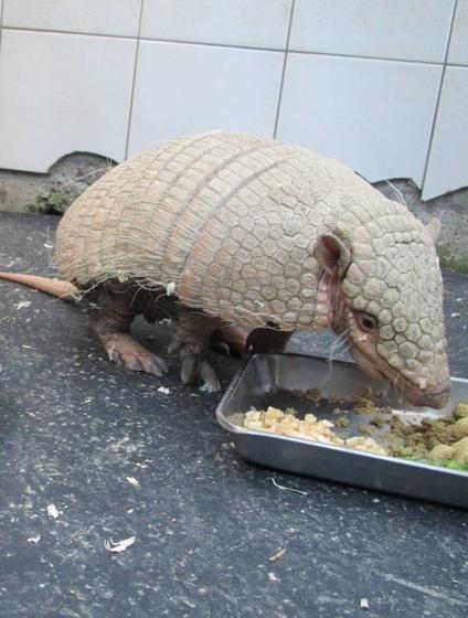 ムツオビアルマジロのハル(♀)が死亡しました。