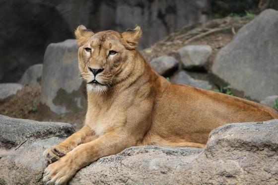 ライオンのデージー(♀)とホンドギツネのゴン(♂)が死亡しました。