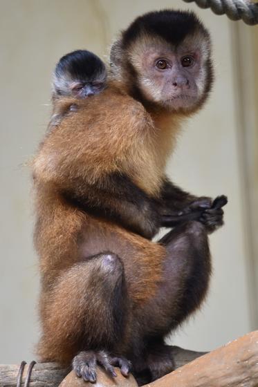 フサオマキザルの赤ちゃんが誕生しました!