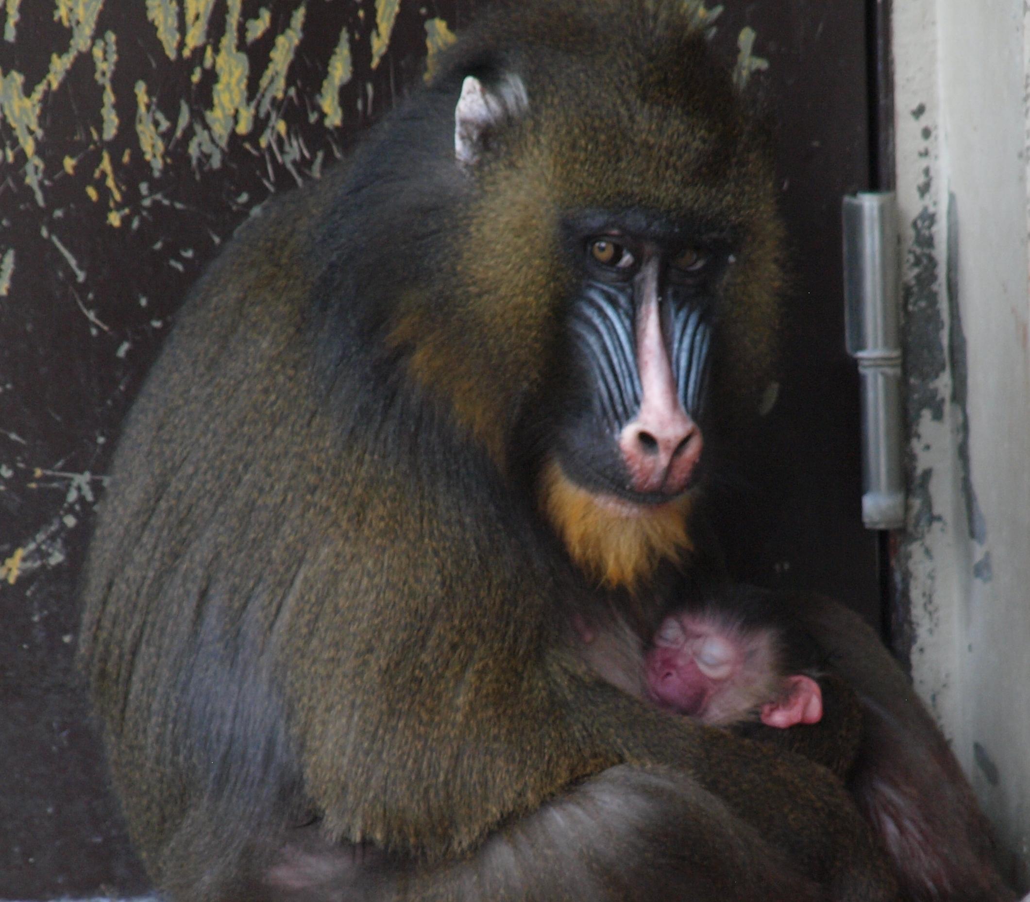 マンドリルの赤ちゃんが生まれました!