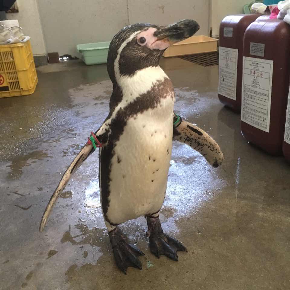 フンボルトペンギン(♂・21歳)が死亡しました。