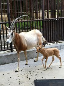 シロオリックスの赤ちゃん誕生!