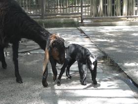 ミミナガヤギに赤ちゃんが誕生しました!