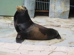 カリフォルニアアシカのジローが死亡しました。