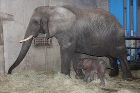 アフリカゾウの赤ちゃん誕生!!