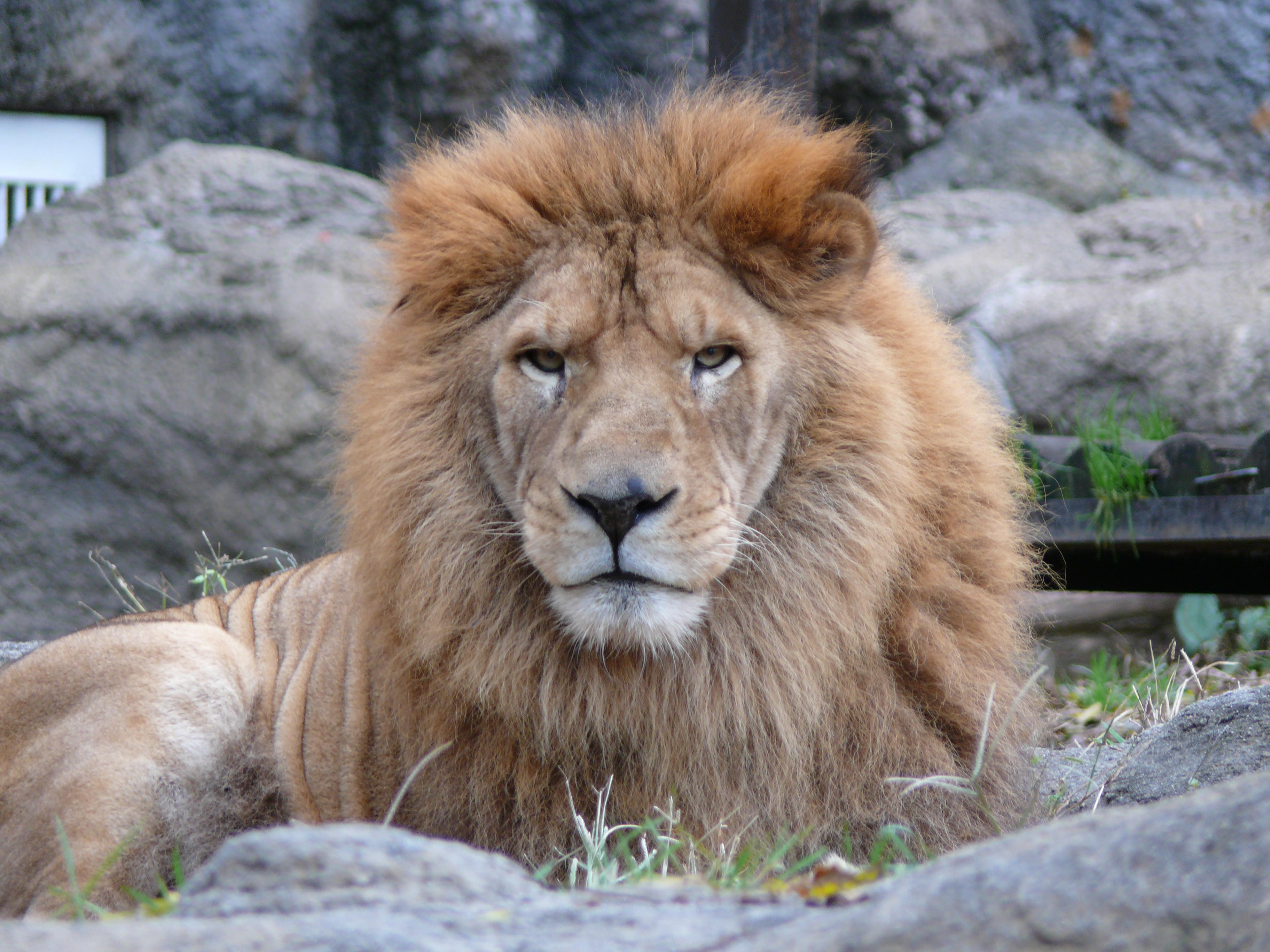 ライオンのなみ次郎(♂)が死亡しました。
