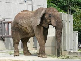 アフリカゾウのアフが死亡しました