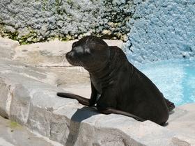 カリフォルニアアシカのラムが死亡しました。