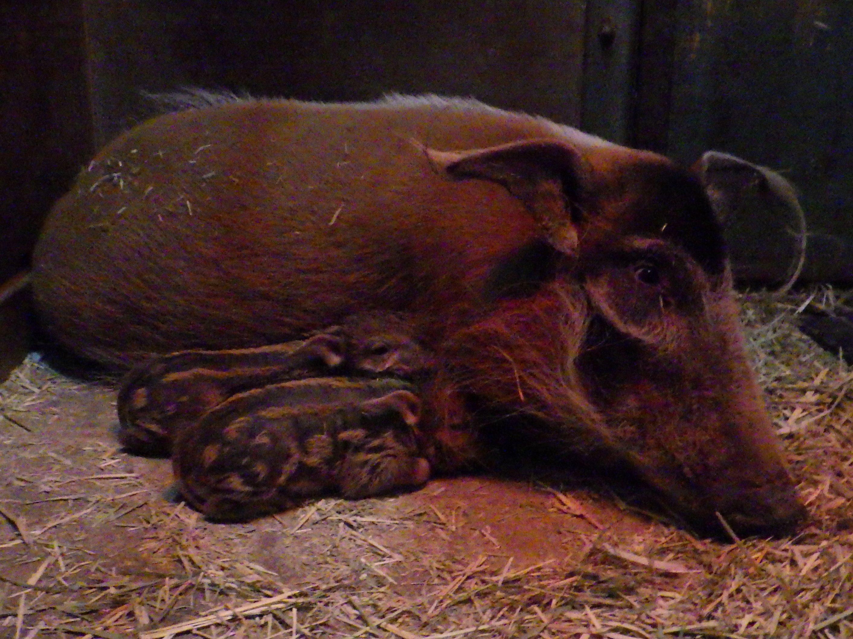 アカカワイノシシとアカカンガルーの赤ちゃんが生まれました。